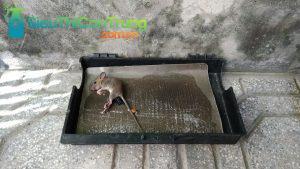 Thiết bị bẫy chuột cách bẫy chuột